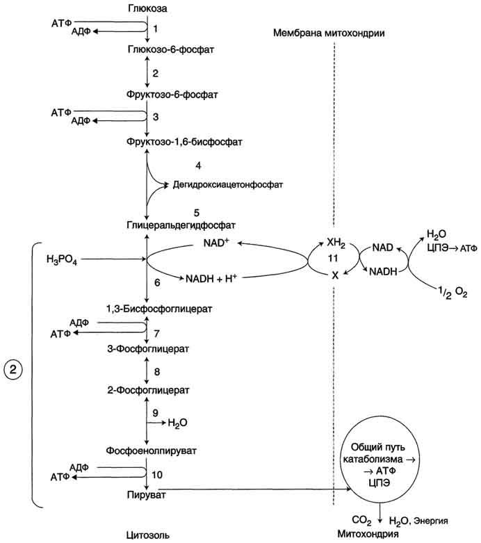 Аэробный распад глюкозы можно
